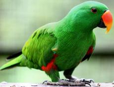 Eclectus roratus -Kuala Lumpur Bird Park, Malaysia -male-8a.png