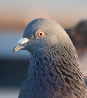 Nonpasserine land bird or pigeon-like bird.