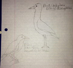 Frost Donacobius and Black Crab Plover.png
