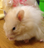 Hershelz Syrian Hamster.PNG