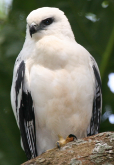 White Hawk 1 2496239182 cropped.png