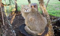 Pampas Cat.png