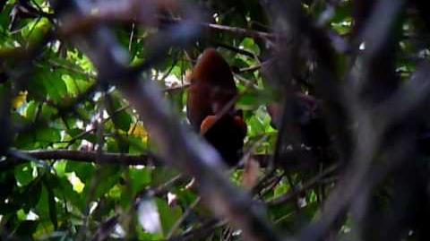 Capuchinbirds Displaying at a Lek in Guyana