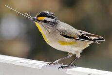 Pardalotus with nesting material.jpg