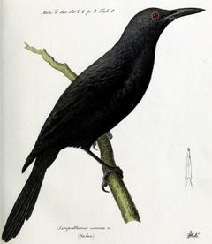 Kosrae Starling.png