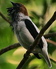 Flickr - Rainbirder - Bearded Bellbird (Procnias averano) male calling.png