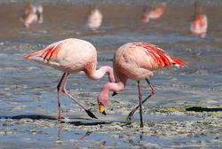 Flamingos Laguna Colorada.png