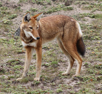 Ethiopian wolf.png
