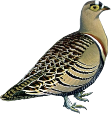 Four-banded Sandgrouse.png