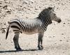 Hartmann zebra hobatere S.png