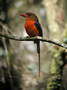 Brown-headed Paradise-Kingfisher.png
