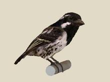 Spot-flanked Barbet.png