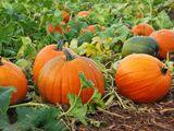 Infinite Pumpkin Farm