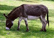 Donkey in Clovelly, North Devon, England
