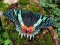 East African Sunset Moth