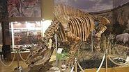 Elasmotherium skeleton, Azov Museum (1)