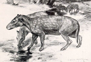 Elomeryx armatus.jpg