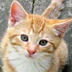 5963ginger-kitten-face (1).jpg