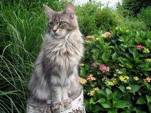 Maine coon katzen zucht 3.jpg