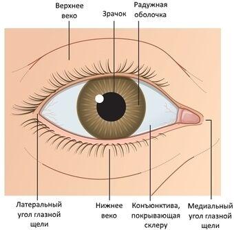 Наружная поверхность глаза