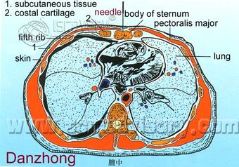 Section picture of Danzhong (CV17) Acupoint