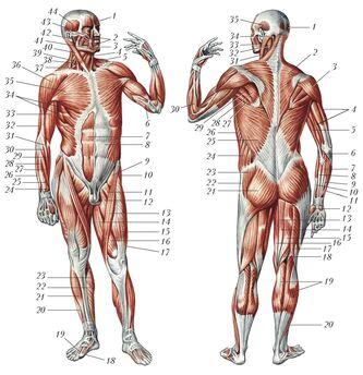 Мышцы человека 22710.jpg