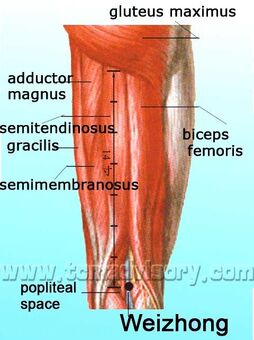 Anatomy picture of Weizhong (BL40) Acupoint