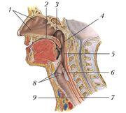 Продольный разрез полости носа, глотки и гортани у человека.jpg