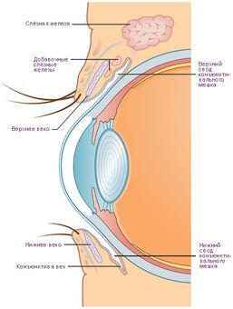 Глазное яблоко и его конъюнктива. Вертикальное сечение