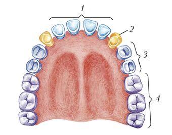Постоянные зубы верхней и нижней челюстей человека