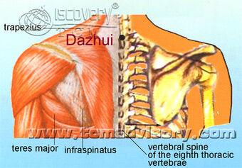 Anatomy picture of Dazhui (GV14) Acupoint