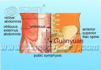 Anatomy picture of Guanyuan (CV4) Acupoint