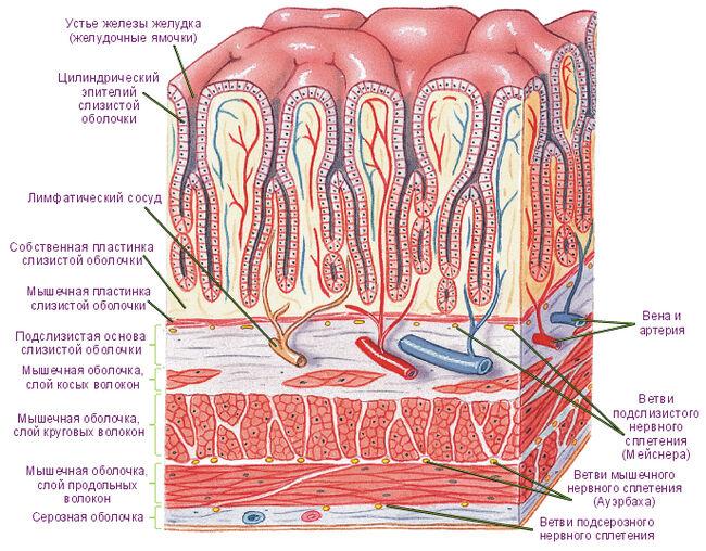 Поперечное сечение стенки желудка