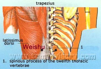 Anatomy picture of Weishu (BL21) Acupoint