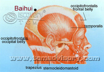 Anatomy picture of Baihui (GV20) Acupoint