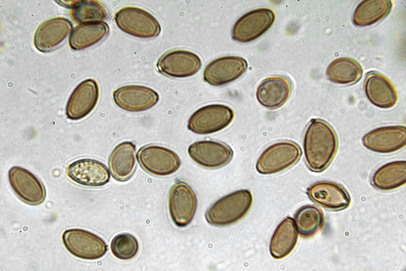 Psilocybe.semilanceata.spores-1000x.webp