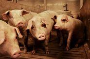Danish farming - pig farm