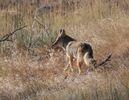 Coyote01