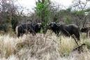 Hunting-cape-buffalo