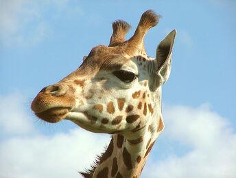 Giraffe Portrait - Woburn Safari Park - Monday August 27th 2007.jpg