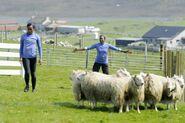 Shelley Nici Sheep Herding