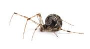 Common house spider beneficial spiders in home 1349460964.jpg