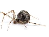Araneus Oscorpeus
