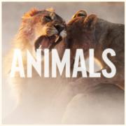 Maroon 5 - Animals Single Cover