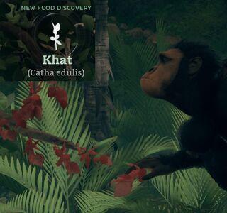 Kath (Catha edulis).jpg