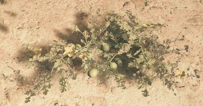 Desert Melon plant