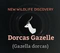 Dorcas Gazelle.png