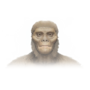 Neuronal Branch - Australopithecus Afarensis.png