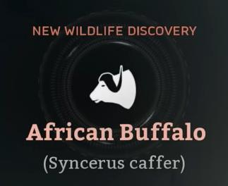 African Buffalo.png