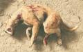 Golden Machairodus Carcass - Image.png